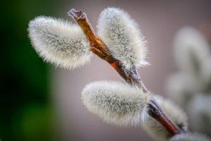 Willow Catkin Branch Palm Sunday  - fietzfotos / Pixabay