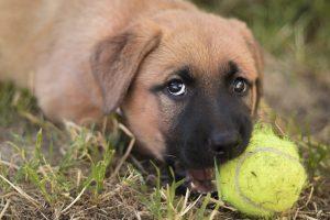 Puppy Dog German Shepherd Ridgeback  - DaModernDaVinci / Pixabay